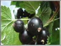смородина черная Глариоза