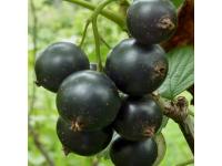 смородина черная Глобус