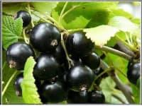 смородина черная Чёрный жемчуг
