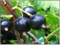 смородина черная Селеченская – 2
