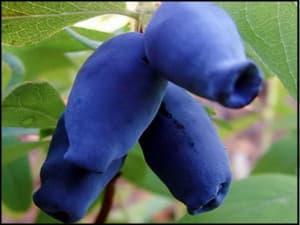 Синичка жимолость