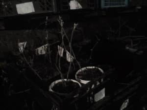 Саженцы ежевики на зимовке