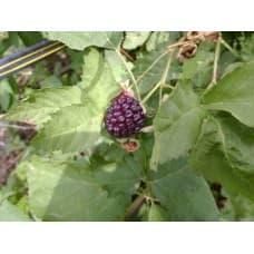 Бойсенберри Торнлесс ((Thornless Boysenberry. Nectarberry)