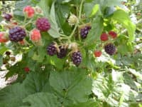 Санберри (Sunberry)