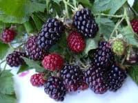 Силван (Sylvan blackberry)