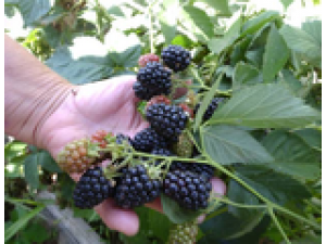 Торнфри (Thornfree Blackberry) ежевика