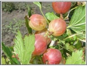 Уральский розовый