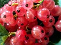 смородина красная Голландская Розовая